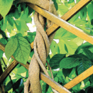 Trellis supporting a vine